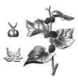 Black mulberry vintage engraving vector image