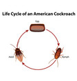 diagram showing life cycle cockroach vector image vector image