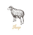sheep sheep vector image vector image