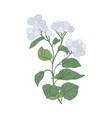 greater burdock flowers isolated on white vector image vector image