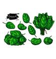 spinach leaves hand drawn set vegetable vector image vector image