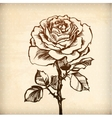 Rose of decorative plant vector image
