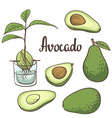 Avocado half of avocado avocado seed a seedling of vector image