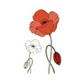 red and white poppy flower and poppy bud isolated vector image