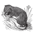 Common Shrew vintage engraving vector image vector image