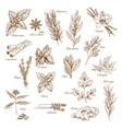herbs spices and leaf vegetable sketch poster vector image vector image