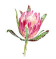 watercolor protea flower vector image vector image