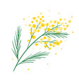 yellow mimosa flower branch symbol spring vector image vector image