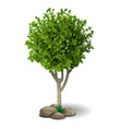 small deciduous tree vector image vector image