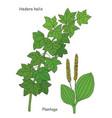 a plants hedera helix and plantago vector image