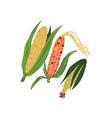 corn varieties fresh vegetable nutritious vector image