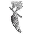 cuban pine pinus cubensis griseb two-thirds vector image vector image