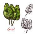 sorrel vegetable spice herb sketch icon vector image
