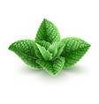 fresh green mint leaves vector image