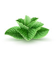 fresh green mint leaves vector image