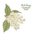 bird cherry branch isolated on white background vector image vector image