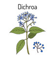 dichroa febrifuga medicinal plant vector image vector image