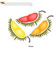 Ripe Durian A Famous Fruit in Brunei Darussalam vector image