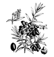 Common olive vintage engraving vector image