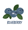 blueberries and leaves isolated on white vector image