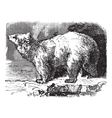 Polar bear vintage engraving vector image
