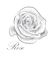 Hand drawn rose on white background vector image