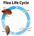 diagram showing life cycle flea vector image vector image