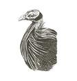acryllium vulturinum monochrome graphic vector image vector image