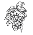 Bunch of grapes freehand pencil drawing vector image vector image