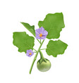 thai eggplant leave and purple flower vector image vector image
