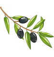 branch with olives black olives green leaves is vector image