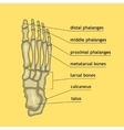 Foot bones with explanation vector image
