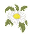 chamomile flower vector image