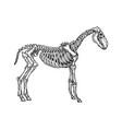 horse animal skeleton engraving vector image vector image