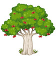 cherry tree isolated on white background vector image