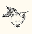 pomegranate hand drawn vector image vector image