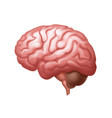 pink human brain side view close up vector image vector image