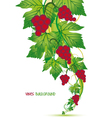 Red Grapes vector image