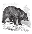Bear vintage engraving vector image vector image