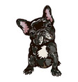 dog breed french bulldog vector image vector image