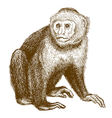 engraving capuchin vector image vector image