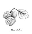 hand drawn of chinese mulberries on white backgrou vector image vector image