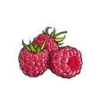 Ripe raspberry isolated on white background vector image