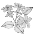 decorative stephanotis vector image vector image