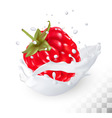 Juicy raspberry in a milk splash on a transparent vector image vector image