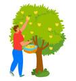 apple tree man picking fruit harvesting vector image vector image