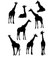 Collection of silhouettes of giraffes vector image vector image