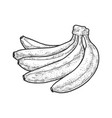 bananas fruit sketch vector image vector image