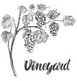 grape vine grape calligraphy text hand drawn vector image vector image