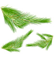 Pine leaves on white background vector image vector image